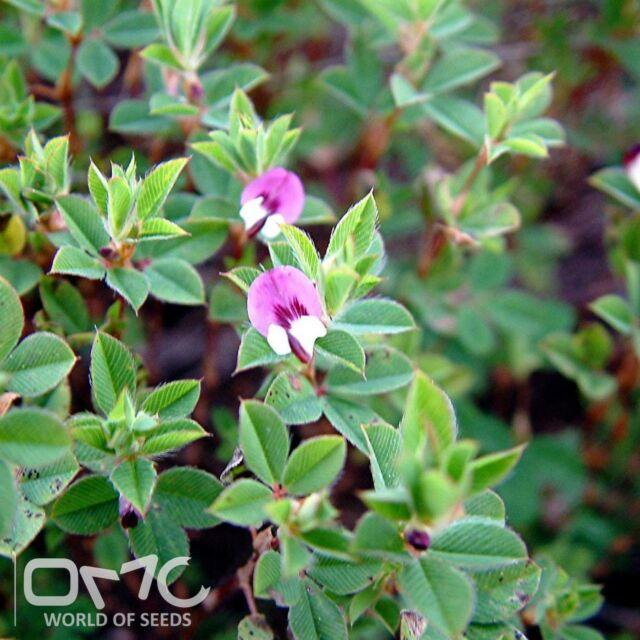 KOREAN LESPEDEZA (Lespedeza Stipulacea) 200+EXTRA seeds (#828)