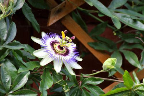 Prenez congé rêves sur le balcon avec la exotiques passion fleur.