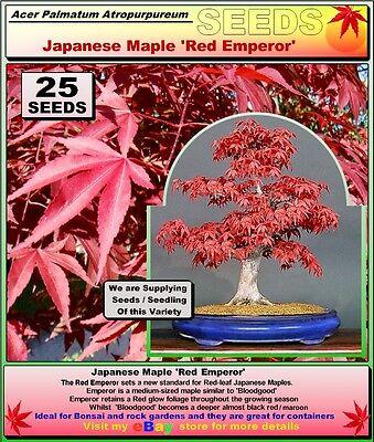 Japanese Maple Acer Palmatum Atropurpureum Red Emperor 25 X Seeds Ebay