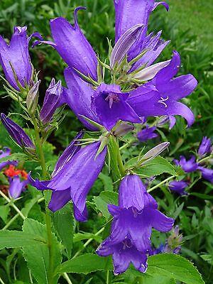 Campanula latifolia BREITBLÄTTRIGE GLOCKENBLUME Wildpflanze 50 Samen