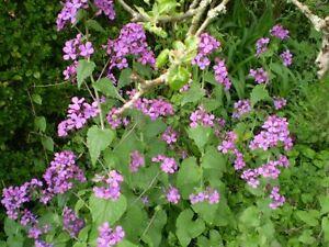 Organici giovane comune di norfolk onestÀ pianta da giardino