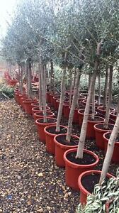 Olivenbaum-180cm-Olea-europeae-frosthart-15-C-Olive-Stamm-14cm-Umfang