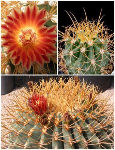 succulents seeds C 50 seeds of Ferocactus diguetii,seeds cacti