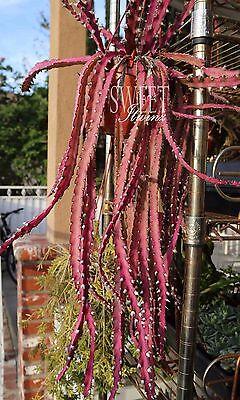 8 cuttings RARE Lepismium Cruciforme Rhipsalis Cruciformis Hanging Cactus Red