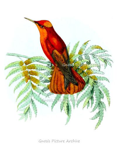 Red Hummingbird wall art no.8 unframed botanical art prints gift for mom