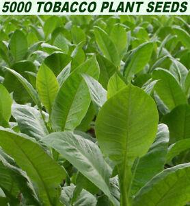 Nicotiana Glutinosa Tobacco 250 Seeds
