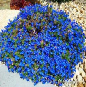 Guarantee 500 pcs Creeping Thyme Bonsai or Blue Rock CRESS Plant