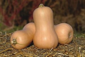 Légumes-Courge d/'hiver-Metro F1-40 graines-Gros