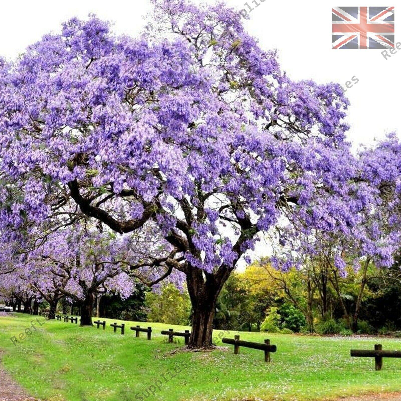 RARE Paulownia Tomentosa Empress Tree, Foxglove Tree 10+ Viable Seeds UK Supply