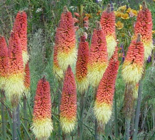 RED HOT POKER FLOWER SEEDS COLORFUL BULK