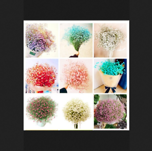 Multi-Color-Gypsophile-Bonsai-paniculata-100-Pcs-Graines-Gypsophile-Fleurs-Jardin