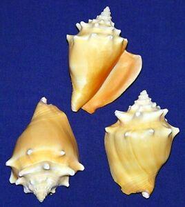 "Strombus Silver Lip Conch Shells ~2-1//2/""~Seashell Craft Supply~Select 1//2//3 Pcs."