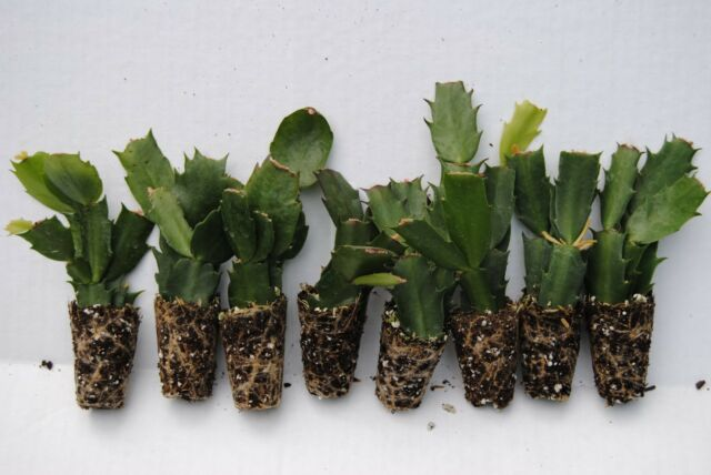 u pick any 8 christmas cactusschlumbergera plants 35 varieties to choose from - Christmas Catcus