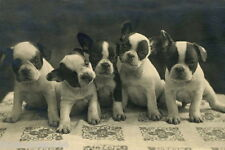 Antique Photo~Five Cute French Bulldog Puppy Puppies Dog Dogs~NEW Lge Note Cards