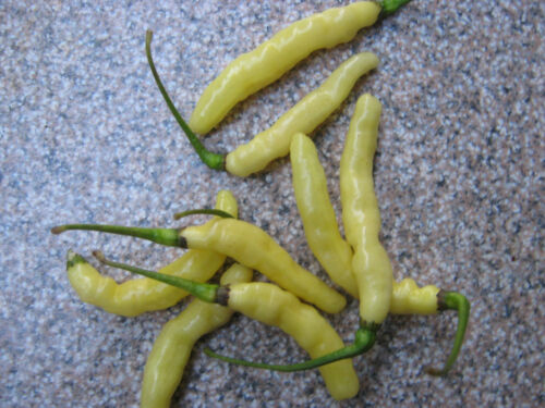 Aribibi gusano Chili White 10 Seeds-Funny Chili-Variety