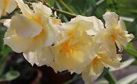 Oleander Pflanze Ca. 50 Cm Luteum Plenum - Gelb Gefüllt