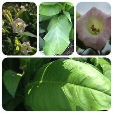 Blanco Burley noble poco más templado tabaco de pipa tabaco semillas tabaco para fumar