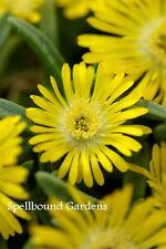Delosperma Wheels of Wonder 'Golden Wonder' Ice Plant Live Plant