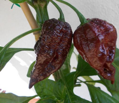 1000 Samen Bulk Seeds Chilisamen Chili Trinidad Scorpion SCHOKO CHOCOLATE