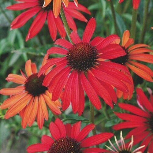 Sonnenhut Echinacea purpurea HOT SUMMER 1x Pflanzfertige Garten Staude TOP Bewer