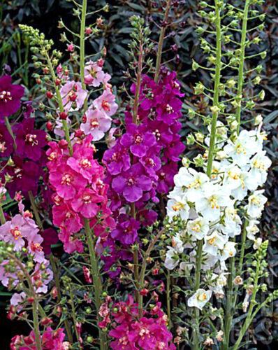 3000 Graines-Verbascum Phoeniceum-fleur Tentatrice Fleur Mix-Molène