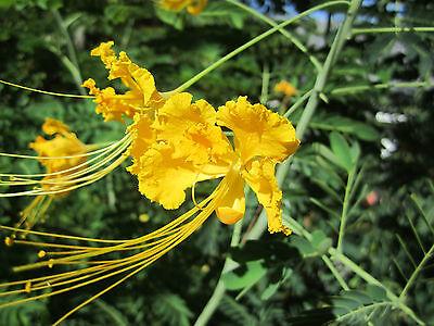 * YELLOW FLOWER SEEDS   PEACOCK ORCHID - CAESALPINIA PULCHERRIMA - PHOENIX