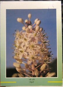 Postcard-Flower-Squill-Urginea-Maritima-posted-1992