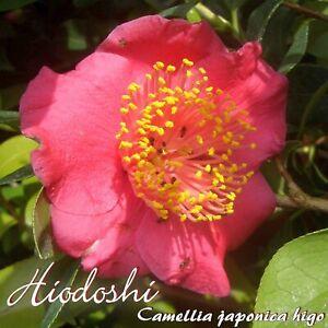 "Kamelie ""Hiodoshi"" - Camellia japonica higo - 4-jährige Pflanze - Zossen, Deutschland - Kamelie ""Hiodoshi"" - Camellia japonica higo - 4-jährige Pflanze - Zossen, Deutschland"