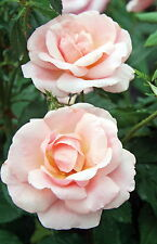 """Peachy Knock Out Rose - 4"""" Pot - Newest Knock Out Rose in the World"""