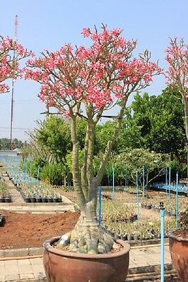10 MIXED SEEDS ADENIUM SOMALENSE YAK JAPAN FRESH AND VIABLE SEEDS SPECIAL OFFER