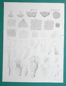 MUSCI-Mosses-Lichens-Liverworts-Hornworts-3-Three-1820-Antique-Prints