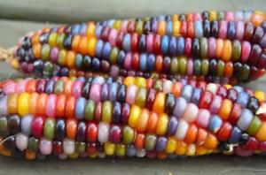 40 organic GLASS GEM Heritage Native Corn seeds; Rainbow-Colore