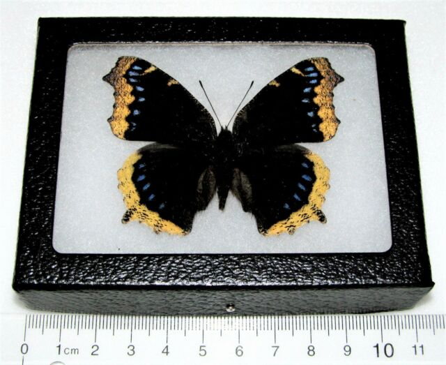 Real Framed Butterfly Mourning Cloak Nymphalis Antiopa California | eBay
