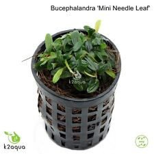 Bucephalandra Mini Needle Leaf Live aquarium Plants Shrimp & Snail Safe Low Tech