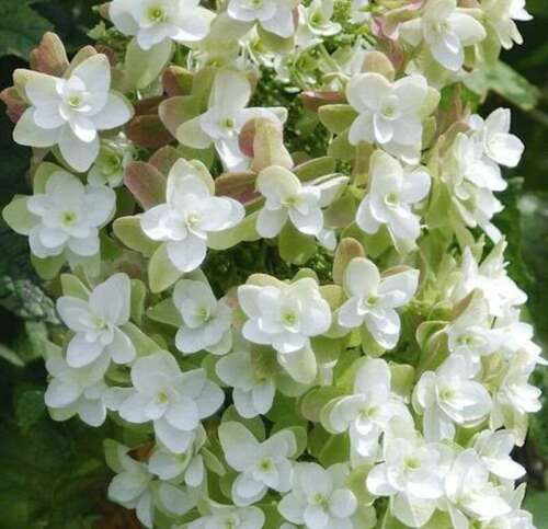 Querce blättrige Hortensie Harmony 30-40cm Hydrangea quercifolia