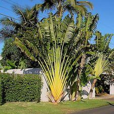 15 Samen Baum der Reisenden - Ravenala madagascariensis - Traveler's Palm seeds