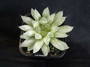 Haworthia-cooperi-cv-Silver-Swirls-x-1