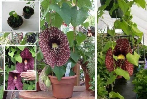Gespensterblume exotische Zimmerpflanze Blume Kletterpflanze schnellwüchsig Deko
