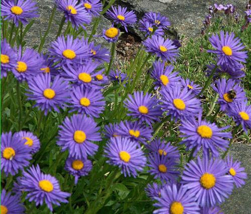ASTER ALPINE BLUE Aster Alpinus 500 Bulk Seeds