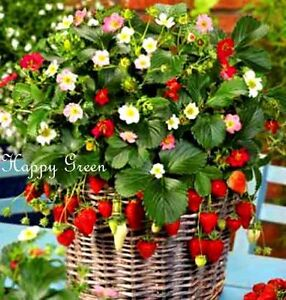 Strawberry-Trailing-Rainbow-Treasure-F1-Fragaria-x-ananassa-5-SEEDS-F1