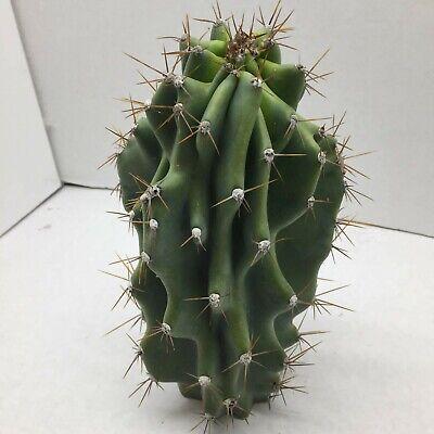 Ferocactus Cylindraceus cactus cacti live plant #15