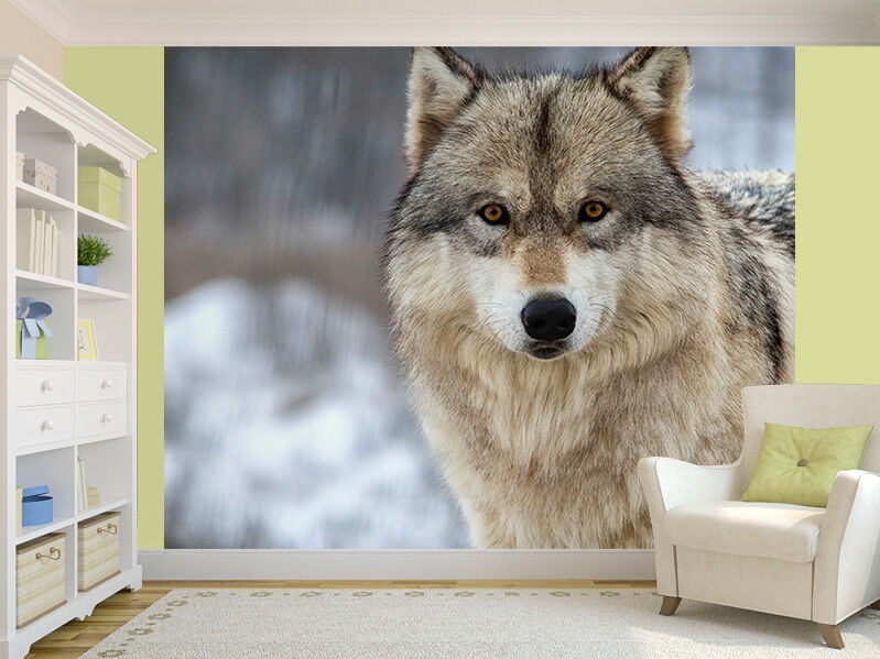 Close up of a Wolf photo Wallpaper wall mural (37114216)