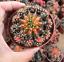 Gymnocalycium cactuschina cactus Succulent plants Home Bonsai 11