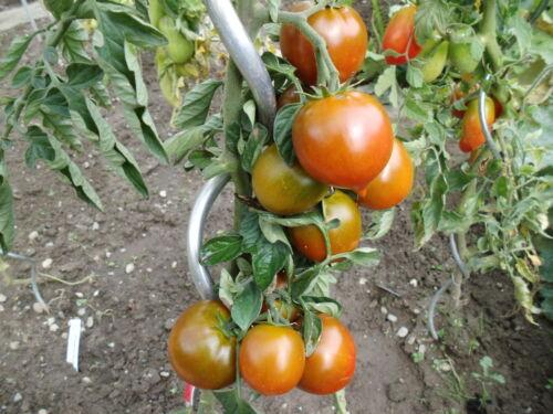 "10  Tomatensamen  /"" SACHER SCHOKOLADENTOMATE   Samen Saatgut Sämereien Tomaten"