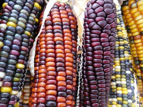 Corn seeds Decorative Mixture Ukraine heirloom seeds