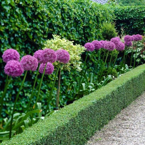 PRE-ORDER-Allium Giganteum x 5 Bulbs.Globes of Lilac Pink flowers Easy to grow.