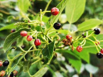 Rare Plant Maqui Berry Aristotelia Chilensis Shrub Ebay