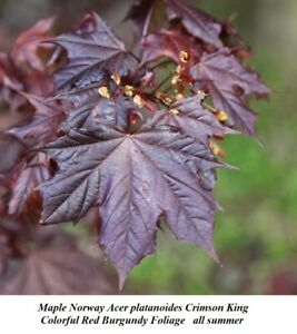 Details about  /Acer platanoides Crimson King Maple 10 Fresh Seeds