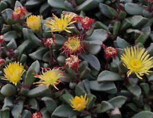 Zimmerpflanze-Kaktus-viele-Blueten-und-Farben-exotisch-i-die-BIJLIA-KAKTEE-i