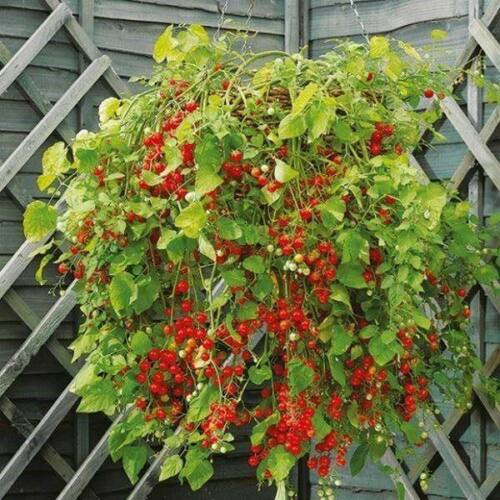 Pomodoro Garten Perle TOMATO semi//seeds